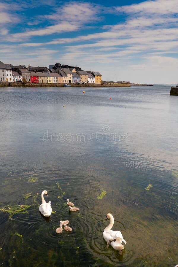 Free Two Gracious White Swans With Their Four Cygnets In Water. Corrib River, Galway City, Ireland. Stock Images - 188720634