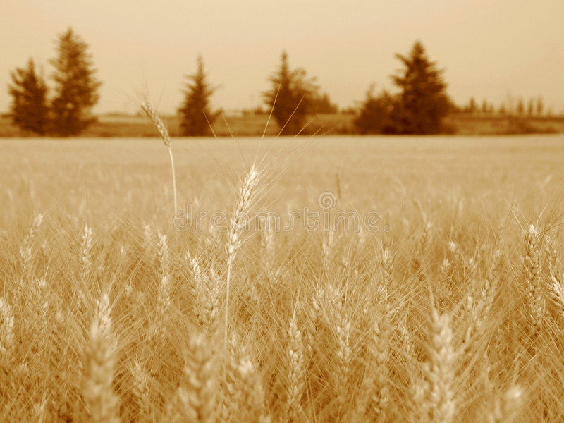 Download Two grain stalks stock photo. Image of fields, crop, close - 5055978