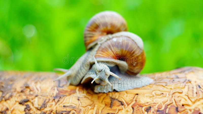 Two grape snails are struggling with each other stock images