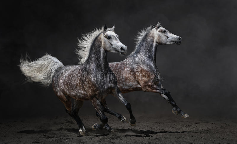 Two gray arabian horses gallop on dark background stock images