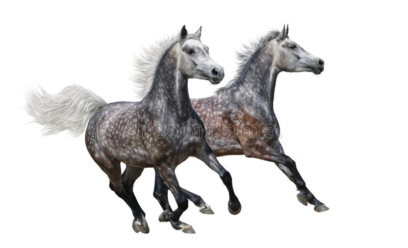Two gray arabian horses gallop on white background stock images