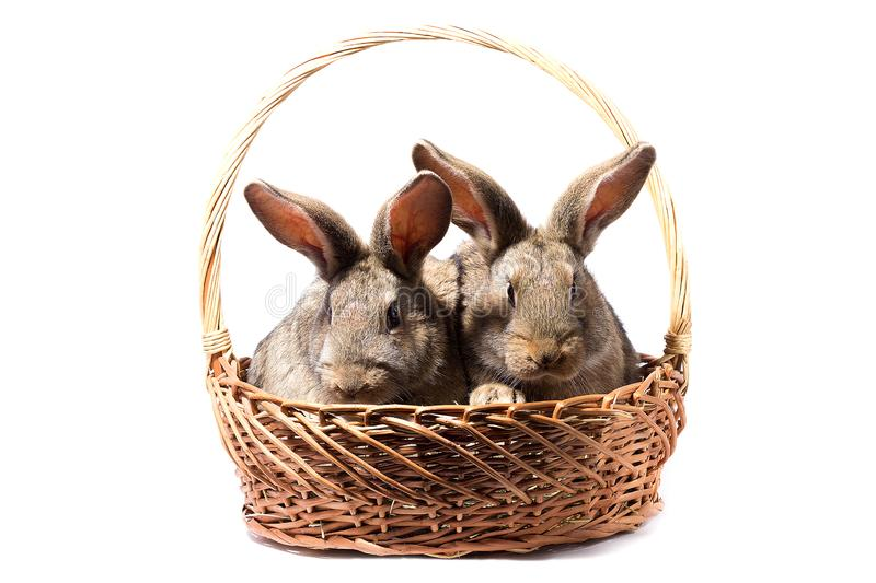 Two gray fluffy bunnies in a basket, isolate stock images