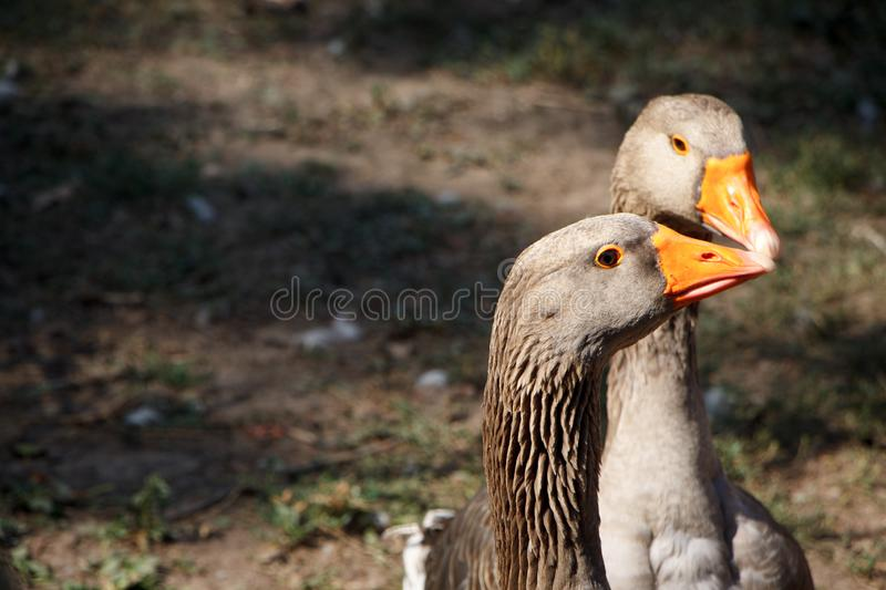 Two gray geese walk on the farm, the concept of the ecological park, selective focus stock image