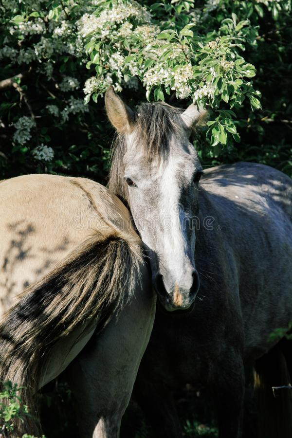 Two gray horses stand side by side under the green crown of the tree stock photos