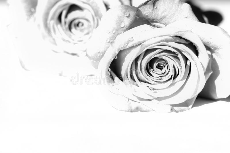 Two gray roses with copy space. stock photos