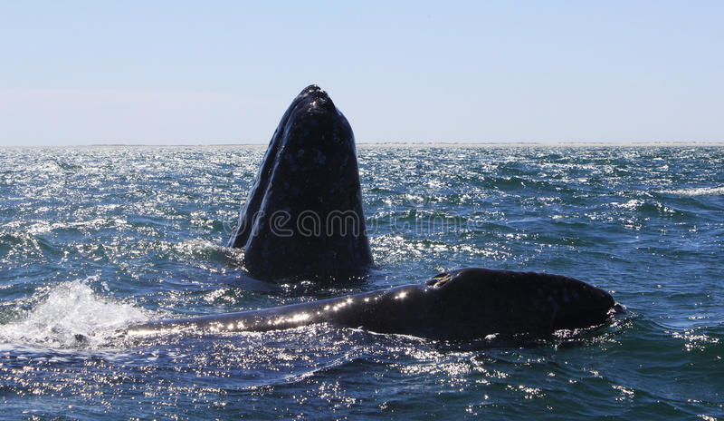 Two Gray Whales in San Ignacio Lagoon stock photography