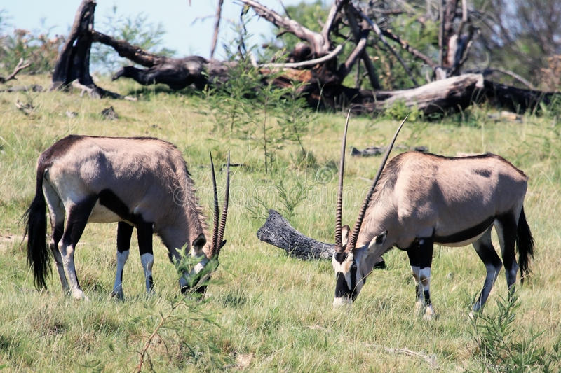 Two grazing African antelopes Oryx. stock photos