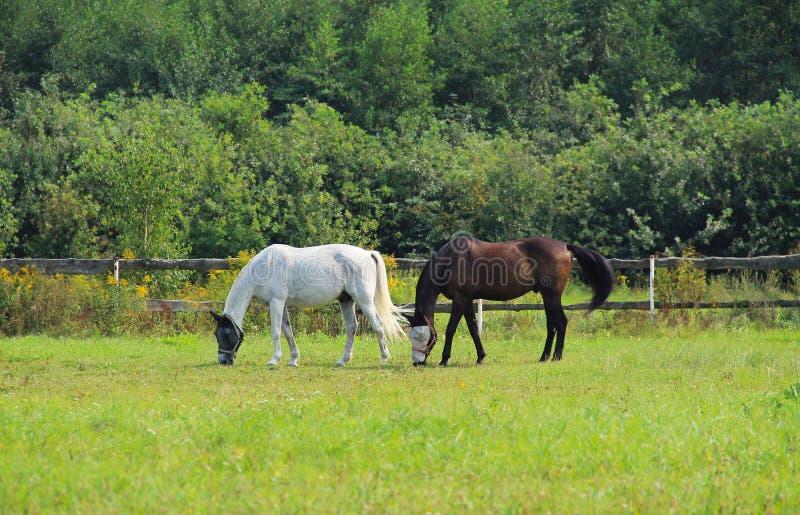 Two grazing horses stock photo