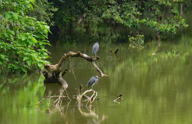 Two Great Blue Herons Perched on a Fallen Tree stock photo