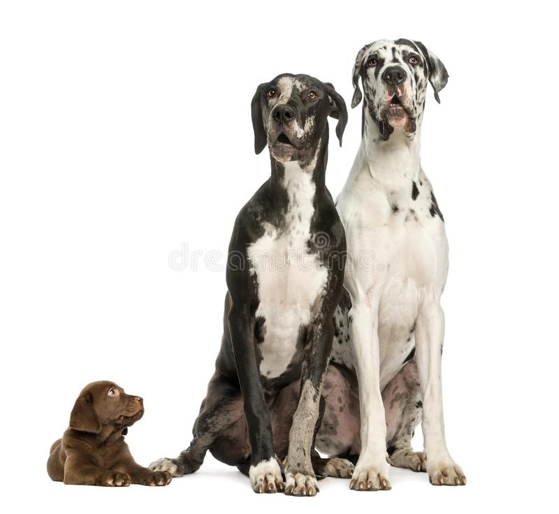 Two Great Danes sitting and looking away and puppy chocolate labrador staring at them. Isolated on white royalty free stock image