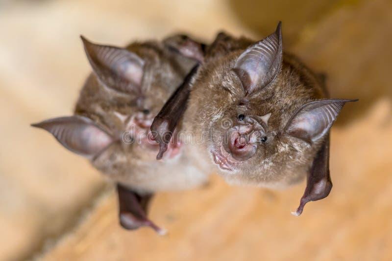 Two Greater horseshoe bat royalty free stock photography