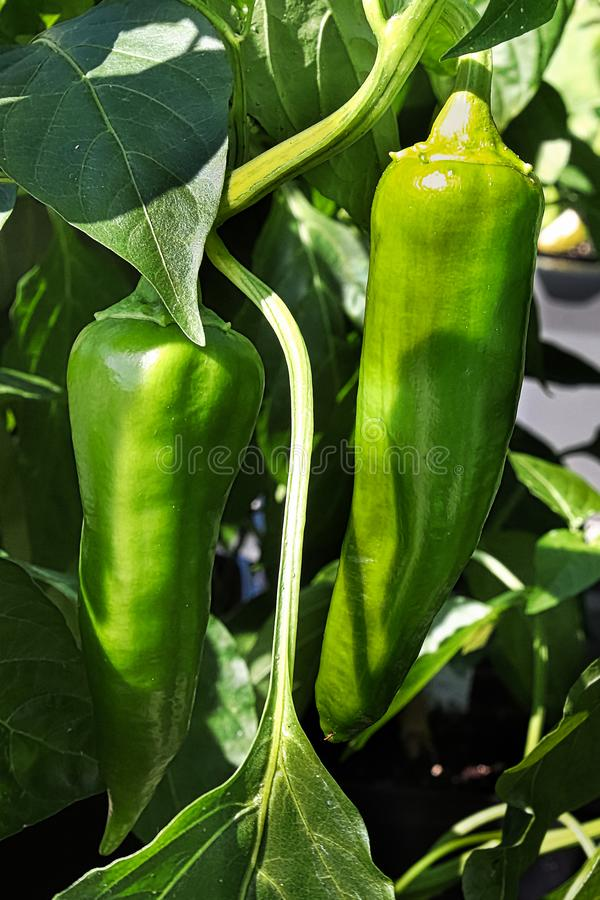 Two green anaheim peppers growing on a steam stock photos