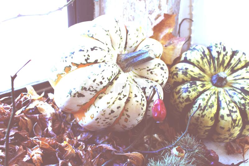 Two Green and Beige Pumpkins stock photo