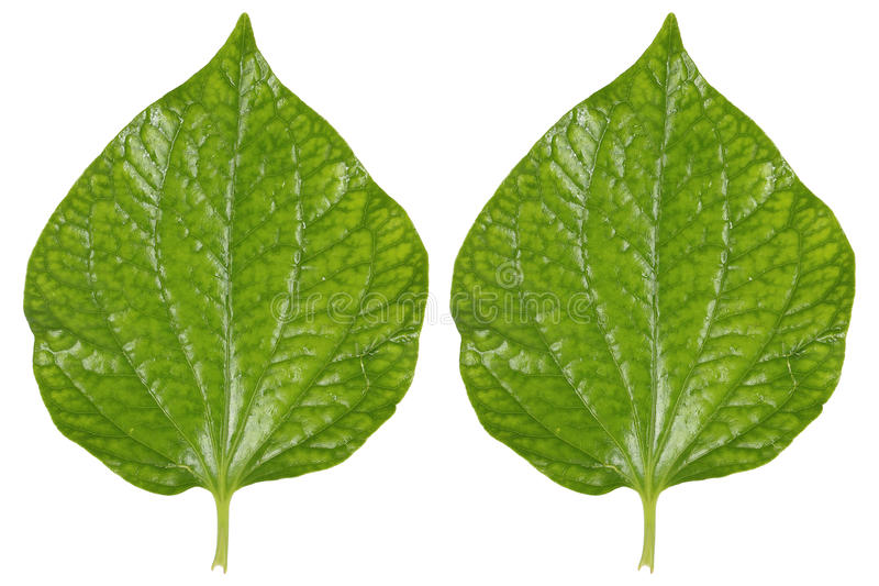 two green betel leaves isolated on white royalty free stock images