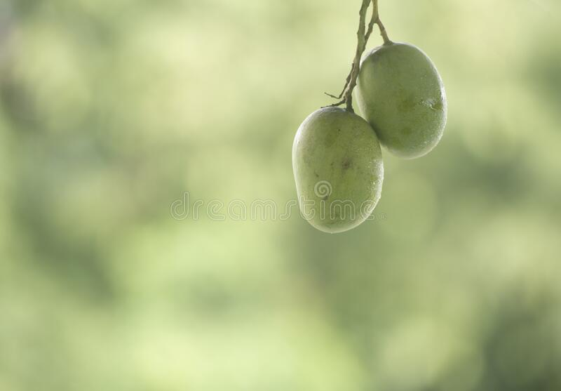 Two green mangoes royalty free stock images