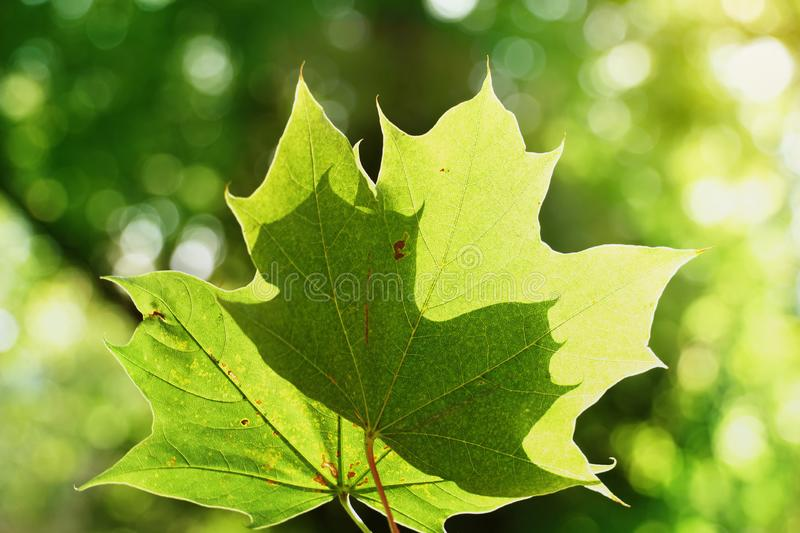 Two green maple leave with sunlight foliage summer background royalty free stock images