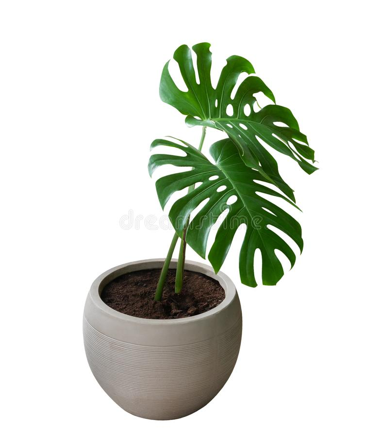 Two green monstera plant leaves with stalk in clay pot, the evergreen vine isolated on white background, clipping path stock image