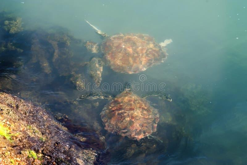Two Green sea  turtles Chelonia mydas feed grass.Status  Threatened.  Texas, Gulf of Mexico.  royalty free stock photos