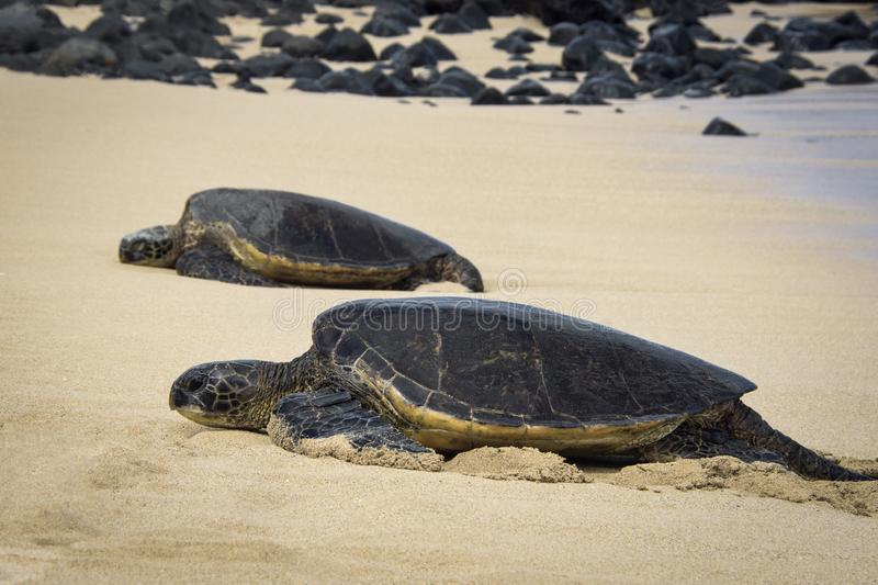 Two Green Sea Turtles Laying on the beach in Paia, Maui Hawaii. This Two Green Sea turtles are laying on the sand at Paia in Maui Hawaii royalty free stock photo