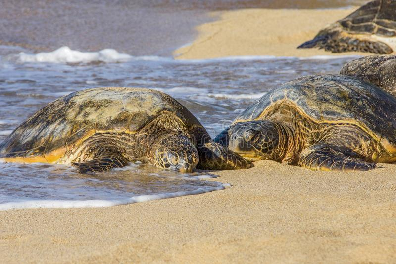 Two Green Sea Turtles Laying on the Sand in Maui Hawaii. Two Green Sea Turtles Laying on the Sand of the Pacific Ocean on a Sanny day in Maui Hawaii stock photo