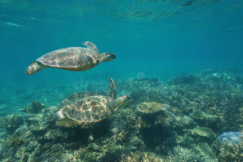 Two green sea turtles under water over coral reef stock image