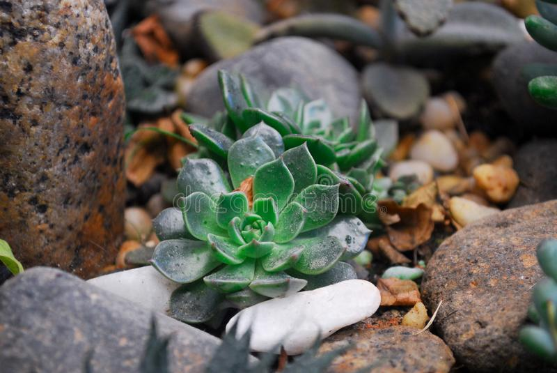Two Green Succulent Plants on Rock stock photography