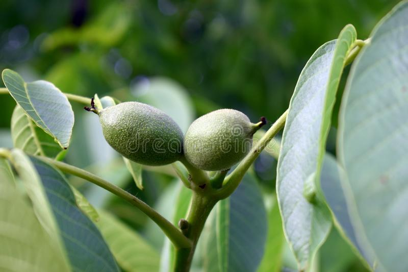 Two green walnut fruit with defocused green leaves in background royalty free stock photo