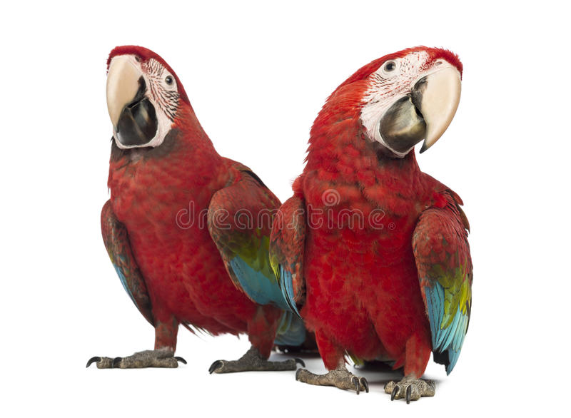 Two Green-winged Macaw, Ara chloropterus, 1 year old. In front of white background royalty free stock photos