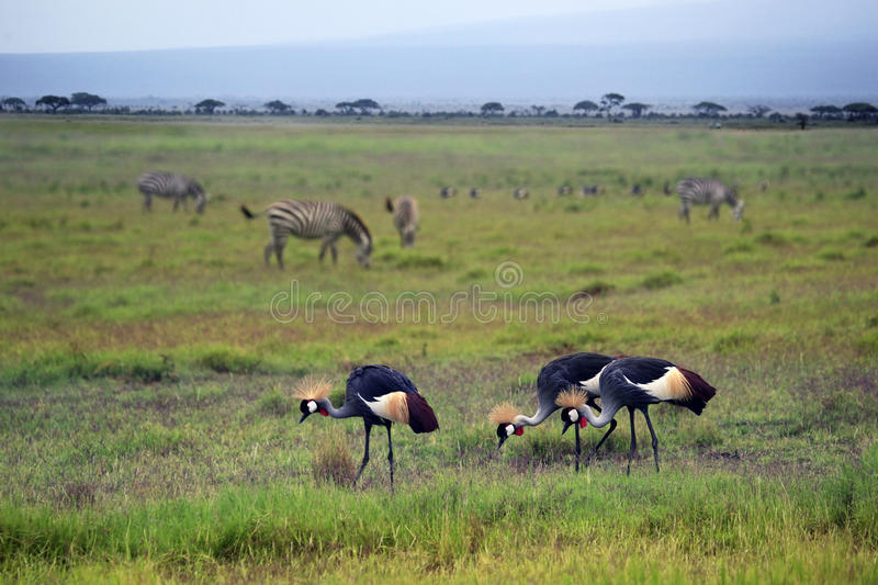 Two Grey Crowned Crane and zebras. In Amboseli national park stock photos
