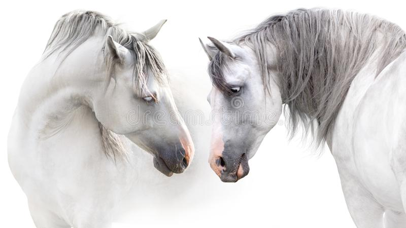 Couple of two white horse stock photography