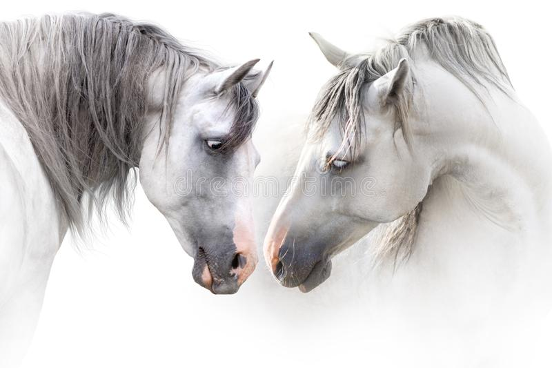 Two grey horse couple royalty free stock photo