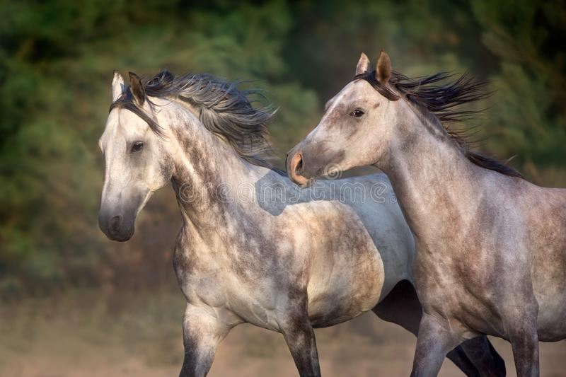 Two grey horse run gallop royalty free stock image