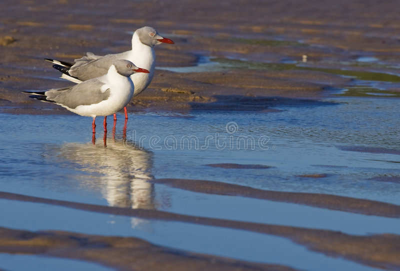 Two greyheaded gulls stock images