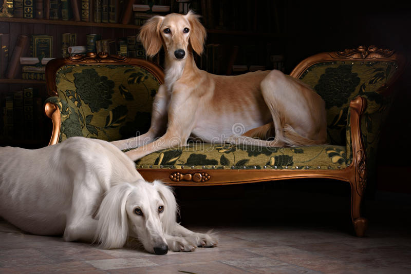 Two greyhound saluki dog in Royal interior. Two greyhound saluki dog in beutiful Royal interior stock photos