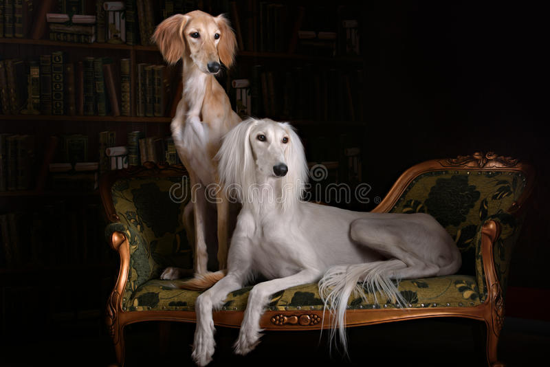 Two greyhound saluki dog in Royal interior. Two greyhound saluki dog in beutiful Royal interior royalty free stock images