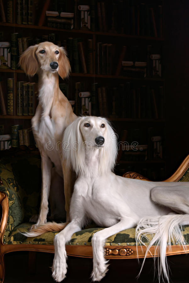 Two greyhound saluki dog in Royal interior. Two greyhound saluki dog in beutiful Royal interior royalty free stock photo
