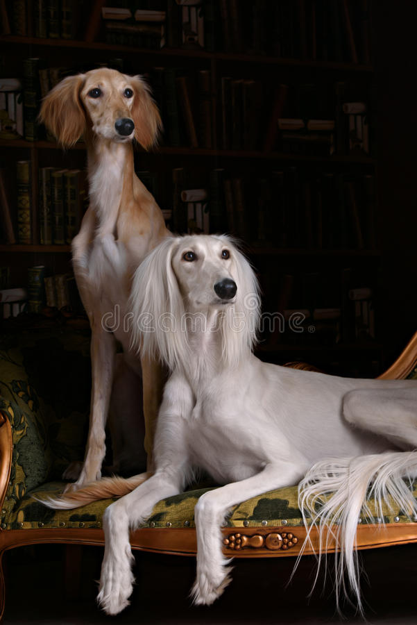 Two greyhound saluki dog in Royal interior. Two greyhound saluki dog in beutiful Royal interior stock images