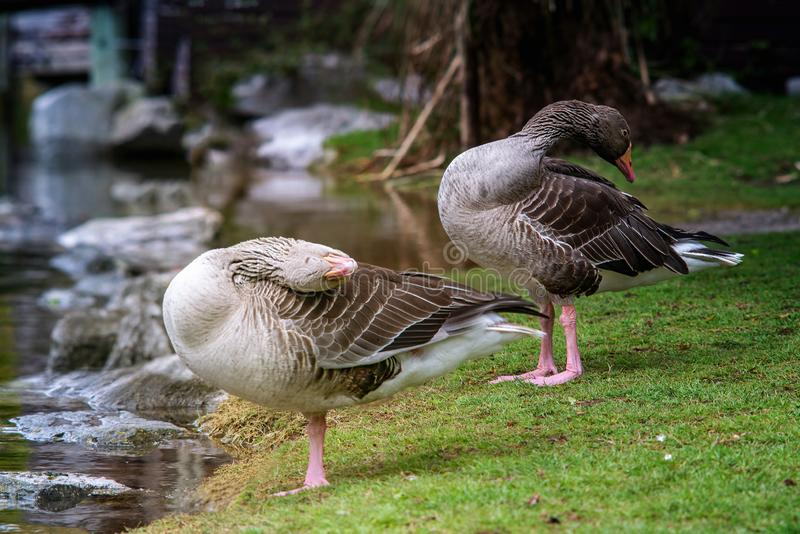Two greylag geese  on a grass stock images