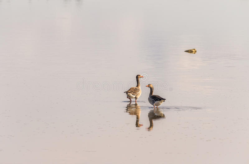 Download Two Greylag Geese Standing In Shallow Water, Reflection Stock Photo - Image: 83710816