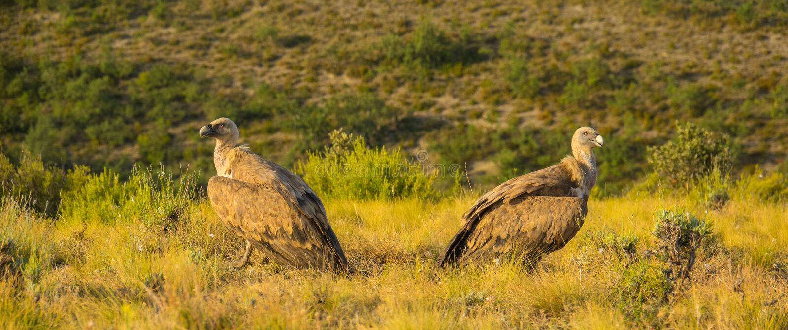 Two Griffon Vultures giving their backs one another stock photo