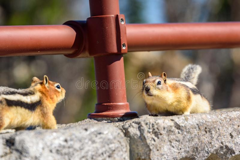 Two ground squirrels facing each other on rocks. Golden-mantled Ground Squirrel. Callospermophilus lateralis - Beartooth Pass, Wyoming - Montana, USA royalty free stock photography