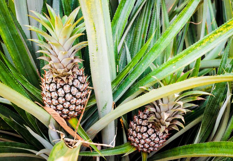Two growing Pineapples royalty free stock photos