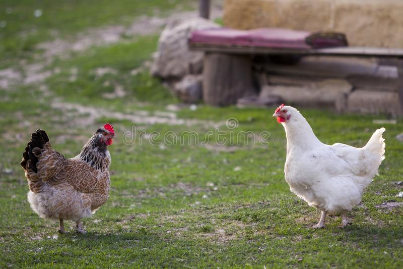 Two grown healthy white and brown hens on green grass outside in rural yard on old wooden barn wall backgroundspring on bright sun royalty free stock image