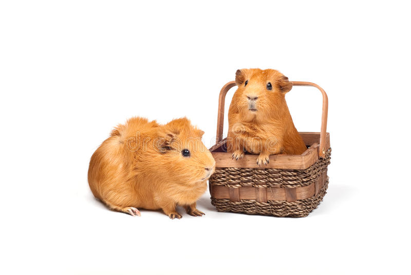Two Guinea pigs and basket stock photography