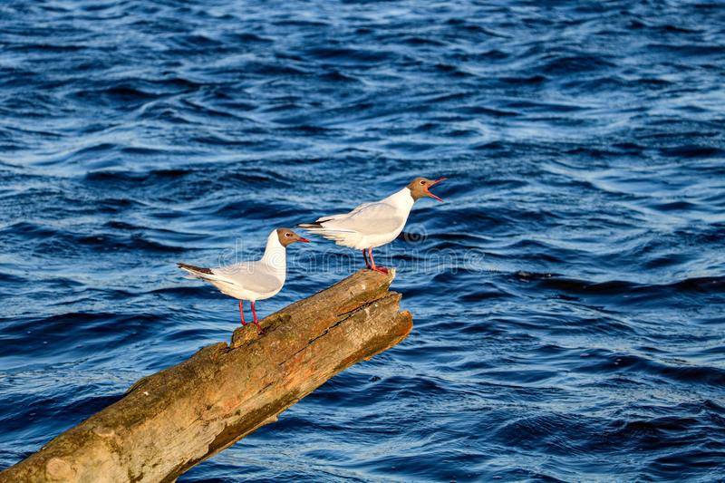Two gulies by the river. One Gulie talking to others at the river in a beautiful evening.n stock image