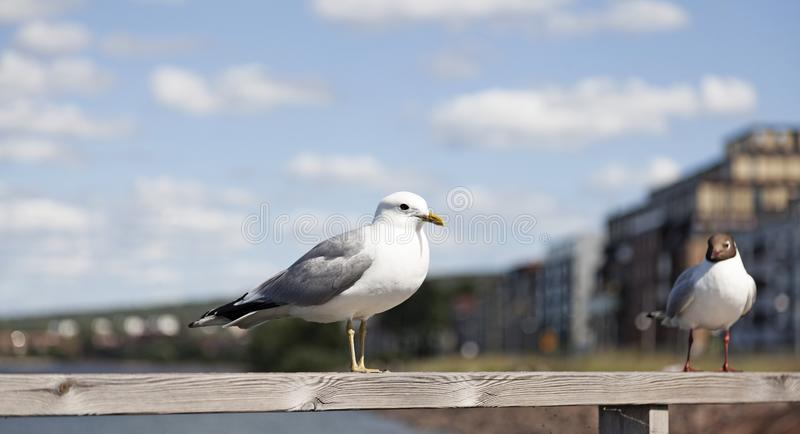 Two gulls are sitting on board in Jonkoping stock photo