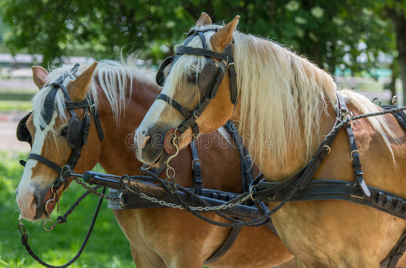 Two Haflinger horses ready for the carriage. Almost like brothers... These two guys are so beautiful as a pair, so it is very hard to imagine them alone royalty free stock photos