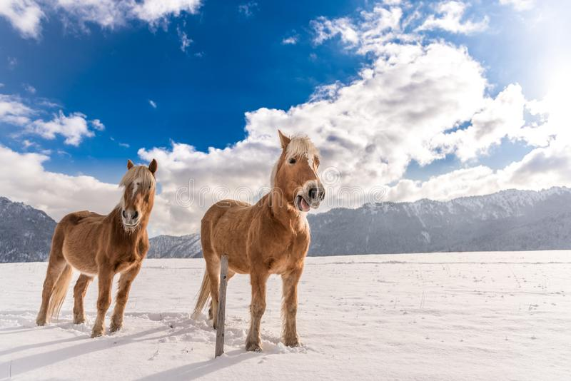 Two Haflinger horses on the winter meadow and mountain peaks on background stock images