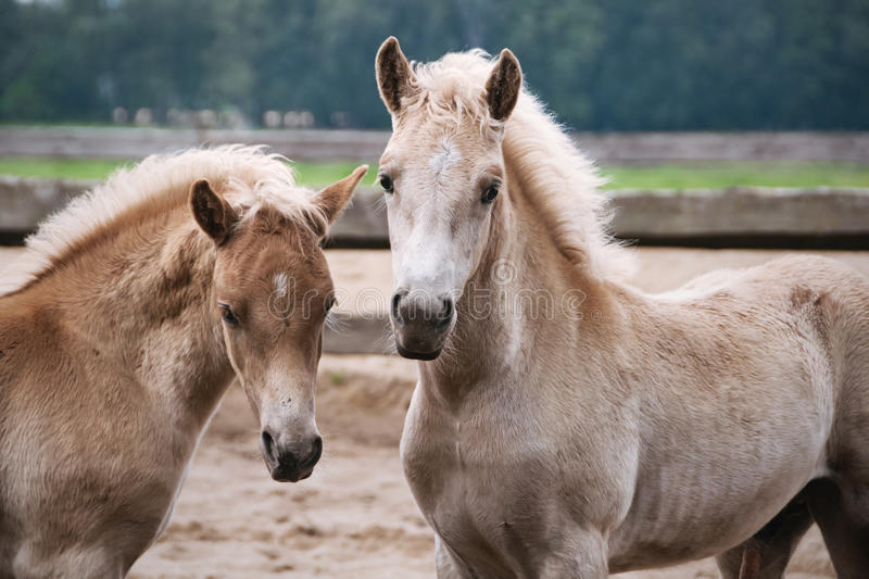 Download Two Haflinger pony foals stock image. Image of equine - 24775921