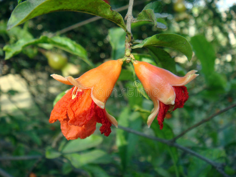 Two half bloomed pomegranate flowers stock images